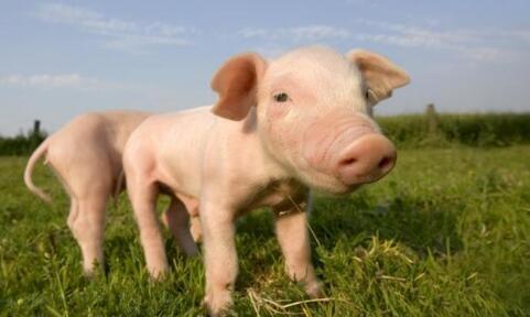 要怎么养猪才能不受猪价影响?看看这些养猪人是怎么做的..