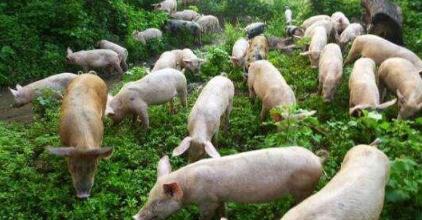 农村养猪真能月收入过万?看看这些农村户是怎么做的..