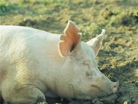 春季是养猪的最佳季节,如果这个时期科学饲养,不仅猪长得快,而且猪病也很少发生,从而可以大大的降低了养猪成本,提高了养猪的经济效益。
