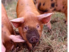 数据表明:猪肉产量、生猪出栏将继续小幅增长?