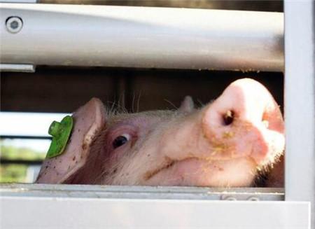 解析一种容易混淆的猪病!