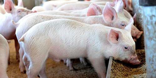 猪价强势反弹未到时机 养殖户补栏积极性不高