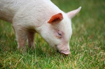 招商农业行业周报:猪价跌势趋缓 逆势中见英雄