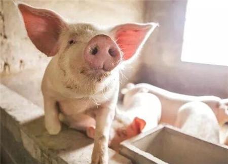 危害猪场的头号疾病蓝耳病,专家给的防控建议
