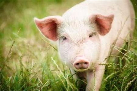 猪场绿化应遵循哪些原则?做到4点,环保还母猪高产,养殖户大赚!