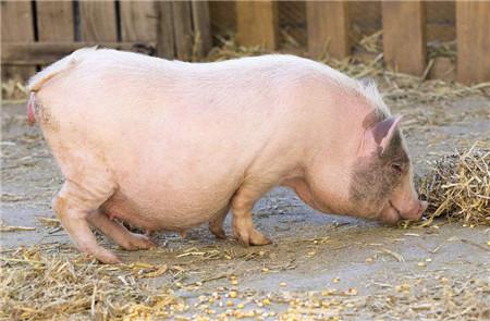 关于近期猪价一些疑问,猪市老手给您全面解答