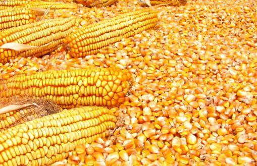 3月产品供需形势分析?玉米消费调增 产需缺口扩大