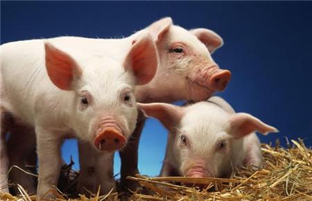 猪价仍在成本线下徘徊,养猪人的下一个机遇在哪