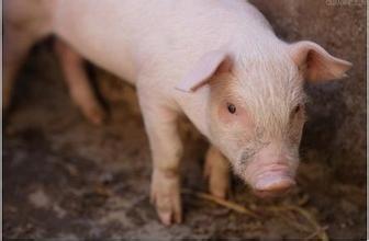 规模e猪:养猪细节管理,分毫必争!