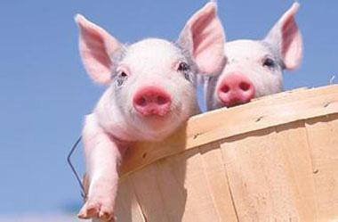 规模猪场合作——专业分工,平台共享!(时间、地点、人物)