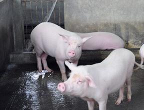 短期猪价实现突破较难,主要还是这几个方面因素影响造成?