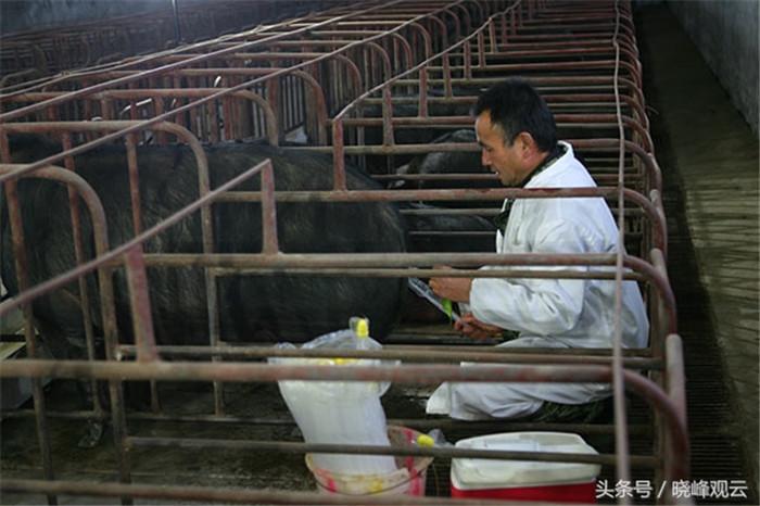 繁育是养猪的第一关,现在基本采取人工授精法,成功率高。这是个技术活。