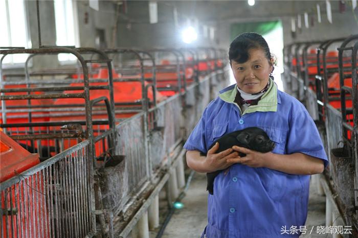 母猪生产时,妊娠车间护工有时需要帮忙剪断脐带,并防止小猪不被母猪压住。据说常有大大咧咧的母猪压死小猪的事情。