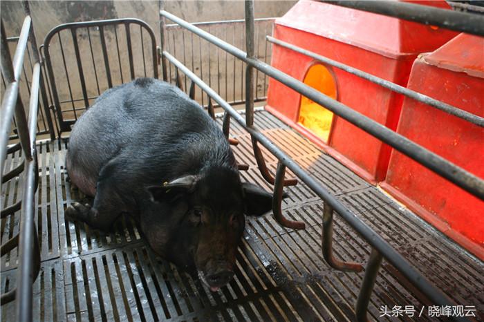 临产前母猪移入妊娠车间,受到特殊照料。