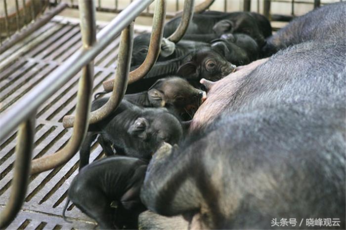 小猪出生后不久,就可以吃奶了。