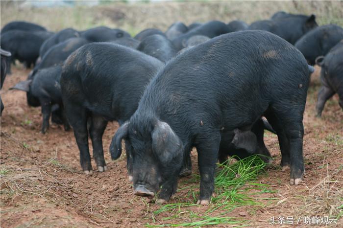 最严环保风暴来袭,怎样养猪才能赚大钱?