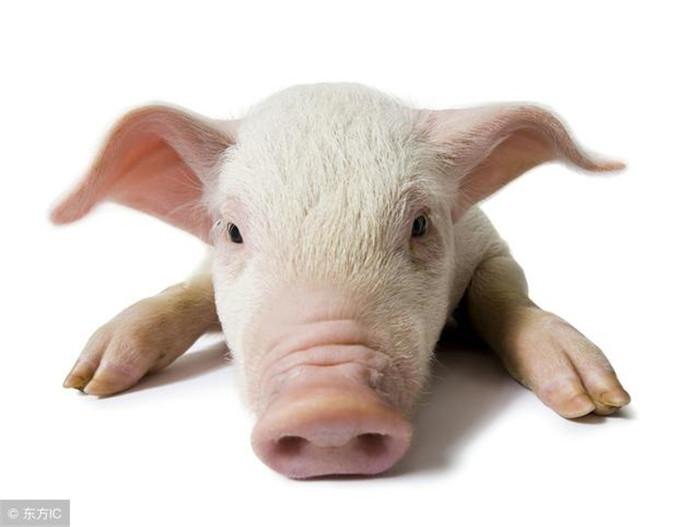 在我们养猪过程中,了解猪的行为对我们养猪过程中可是说是非常重要。根据猪的行为去饲养,可以使我们养猪更顺利,效益更大化。了解仔猪行为和了解母猪行为同等重要。