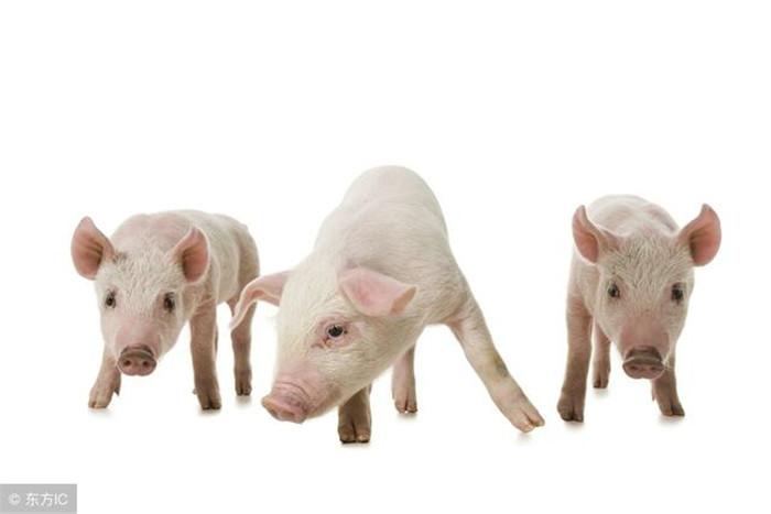 养猪首先要懂猪,你懂么?