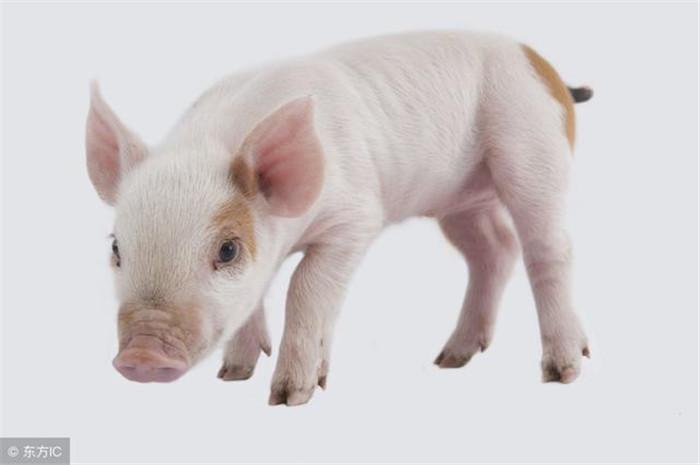 分娩期间,仔猪出生后也会有行为意识。它们会寻找母猪柔软和温暖的部位,并摸索出寻乳捷径。母猪产后不久,会有呼唤仔猪吃奶的行为,而仔猪随后也会主动要求吃奶。母猪泌乳时泌乳量受到仔猪拱乳按摩能力的影响。产后数小时,乳汁会有规律的分泌,仔猪会守在乳房允奶。