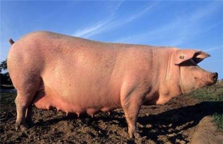 养猪育肥宝典:怎样养猪长的快,养猪高效育肥,猪场育肥养猪人总结!