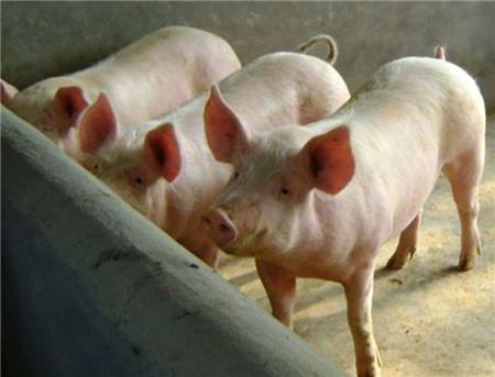 春天是养猪的好季节,做到这三点才能事半功倍!