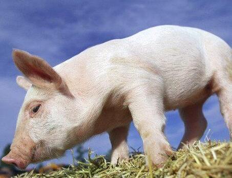 中小型养猪场总结七条管理经验,夫妻猪场盈利关键在管理