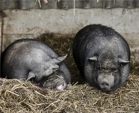 猪病传播途径有哪些?春天来了,天气变暖了,养殖户千万不要大意