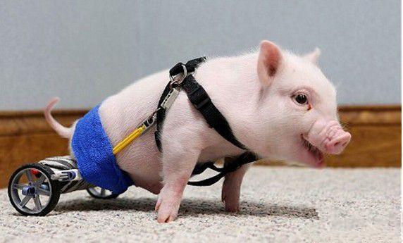 猪价下跌,养猪人的苦日子来了,但对屠宰企业而言却不算坏事,甚至可以说是利好居多。