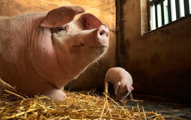 全球前40名生猪养殖企业,温氏股份第二,万洲国际第一!