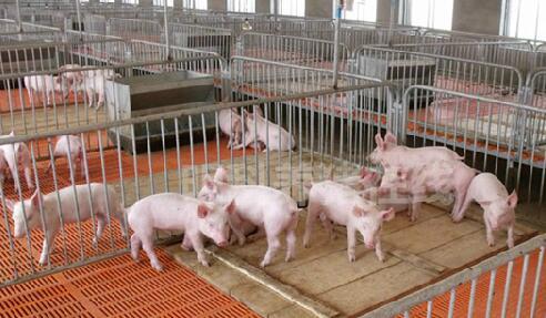 猪价低迷期,养猪人更需要做好这4方面的基础工作