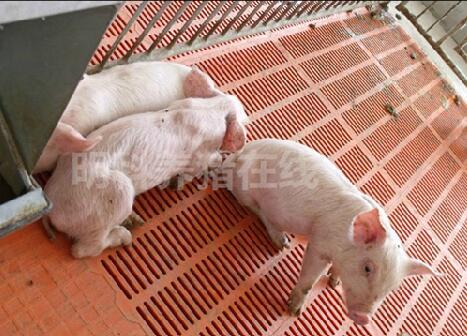 这样养僵猪,僵猪才能长的更快一些