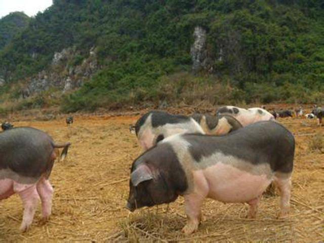 蓝颜老师养猪技术课程:氟苯尼考的正确使用