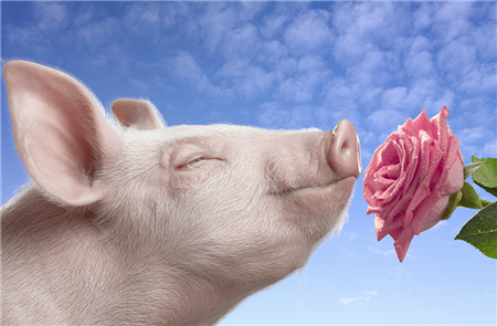 春季猪病高发,这些知识要知道!