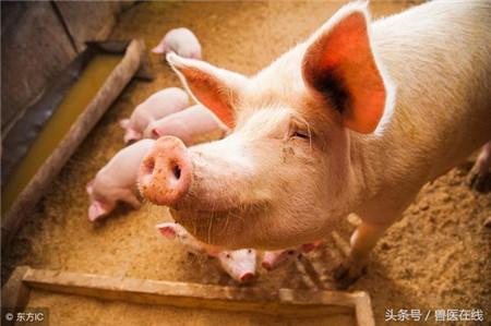 猪价再刷年内低点,倒春寒寒的不止养猪人的心