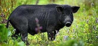 生猪价格跌至近四年新低 行业寡头经营模式分化加剧