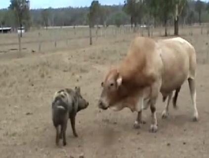 猪和牛大战给猪界争光了,够猪吹炫一辈子