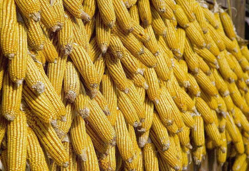 2018年03月15日全国玉米价格行情走势汇总
