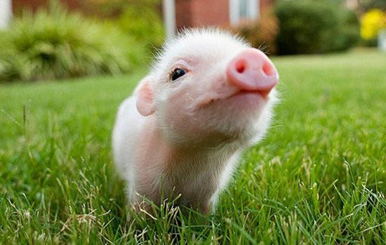 2018年3月17日(20至30公斤)仔猪价格行情走势