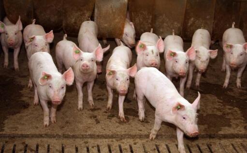 两养猪巨头一个卖猪圈,一个亏上百亿,还能养猪吗?