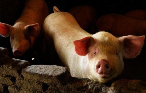 10大上市猪企产能大释放,养猪散养户被迫退市?