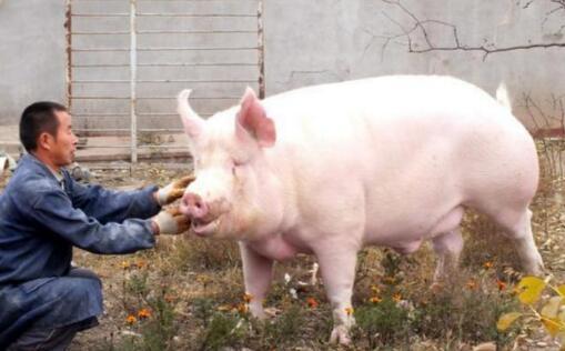 养猪人的话让人心痛!猪价跌至5块,居然还要进口猪?