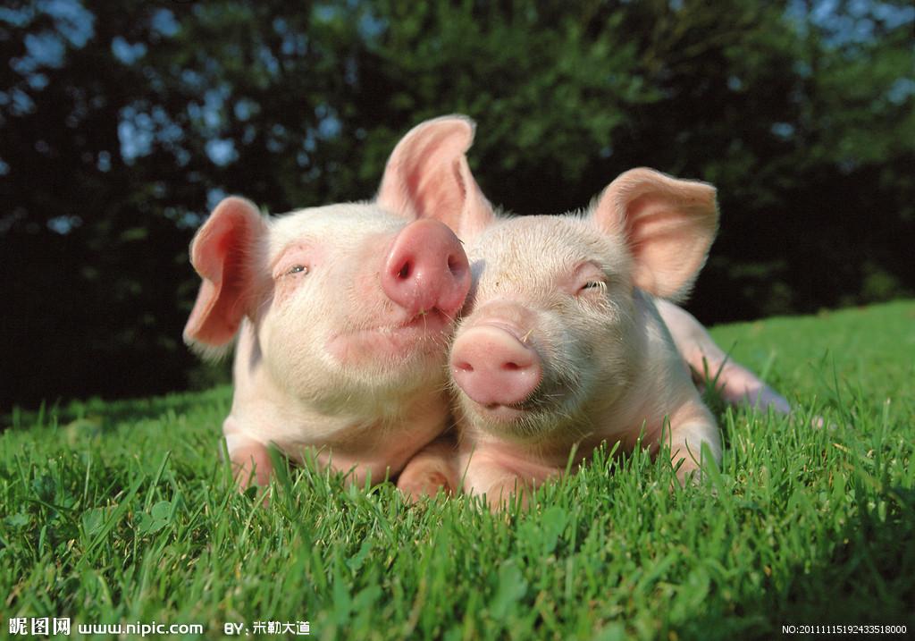 """二月二龙抬头,猪价会随着""""龙抬头""""而抬头吗?"""