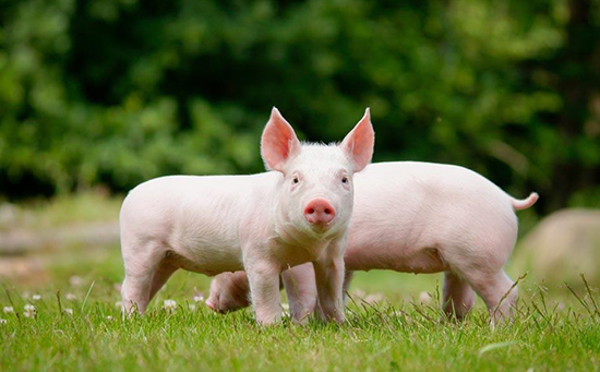 2018年3月18日(20至30公斤)仔猪价格行情走势