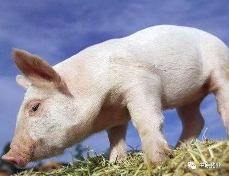 猪价下跌的同时,还有一个麻烦让养殖户很不爽!