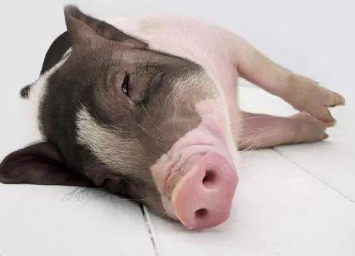 猪价暴跌是猪太多还是另有隐情?