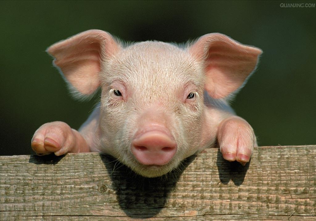 你是否已瞄上清明猪价?政府收储,猪友评论竟是……