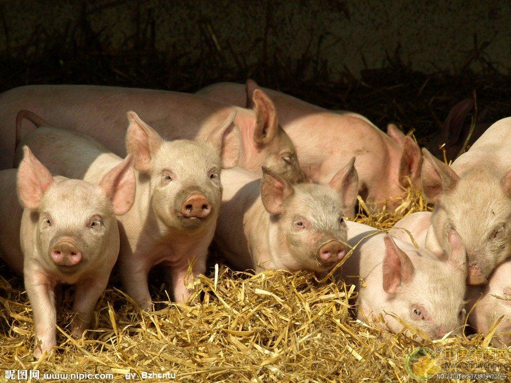 养猪如炒股,掌握这些,你就能价格低潮中扭亏为盈