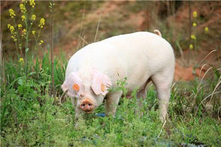 """农户养猪""""赔本""""了?猪价近日又降,快听专家建议"""