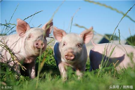 猪价暴跌与养殖巨头疯狂扩张有关?看数据说话