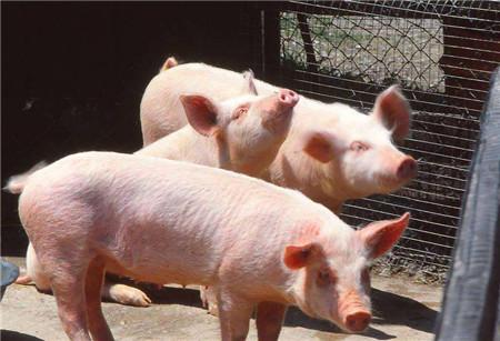 细数猪价暴跌背后的五大推手,看完惊呆了!